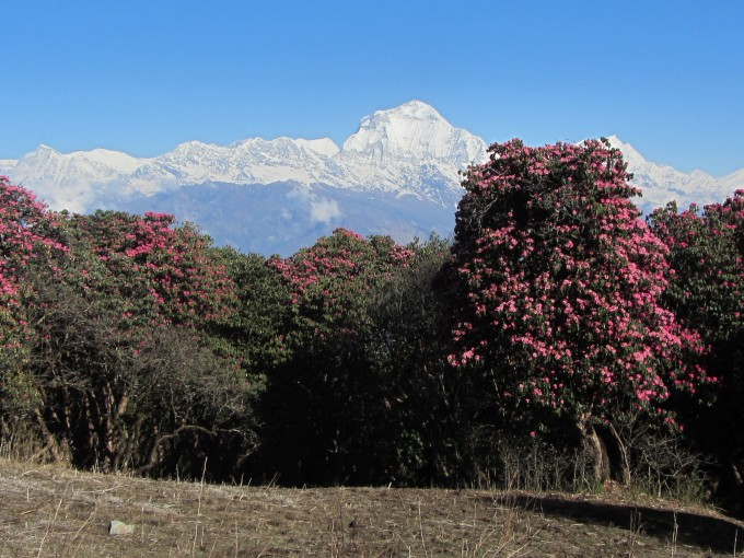 3月にはネパールの国花「赤い石楠花」も咲き乱れます!